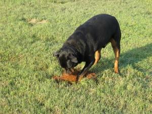 LynnK827: Dak digging for gophers