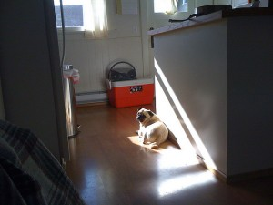 This dog will always find that one little pinprick of sunlight in which to bask in the warmth of.