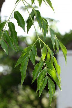 センダンの葉っぱ