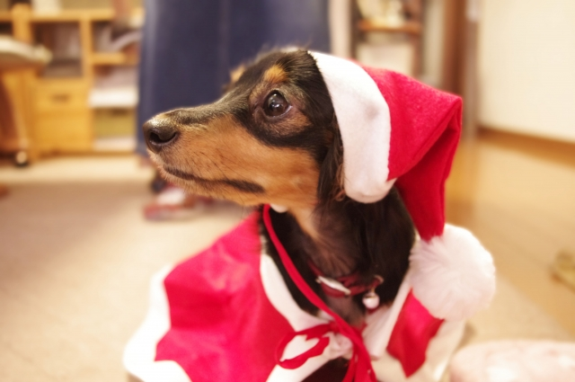 クリスマスと犬